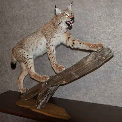 EURASIAN LYNX - TAXIDERMY MOUNT STUFFED ANIMAL FOR SALE - NOT BOBCAT